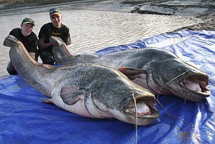 The Biggest Catfish Ever Caught In The World